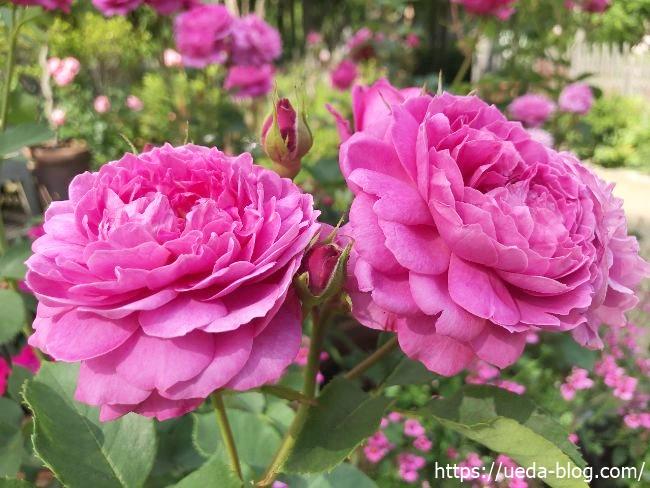 銀河庭園 ピンクの花