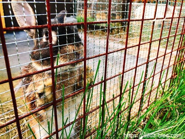 ふれあい動物広場のウサギの写真